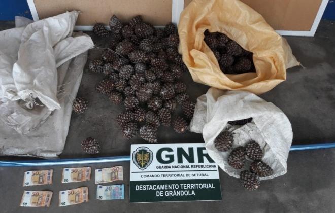 GNR deteve três homens em Grândola por furto de pinhas