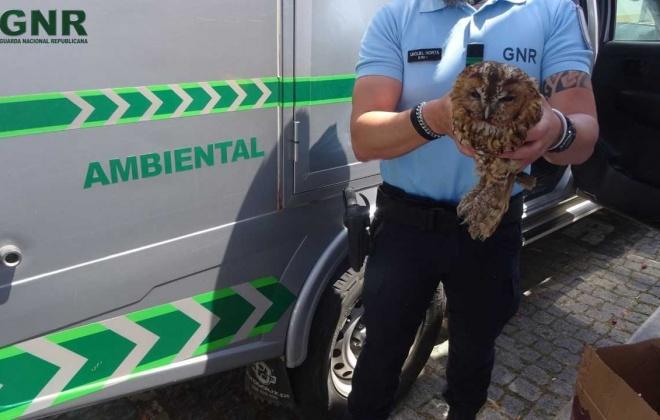 GNR recuperou uma Coruja do Mato em Figueira de Cavaleiros