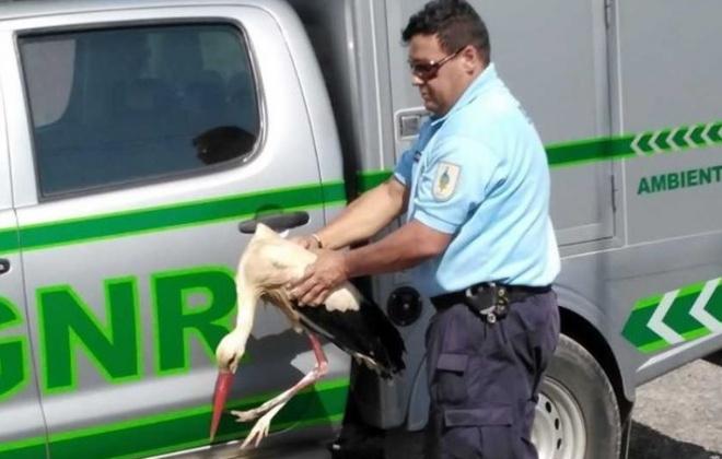 GNR resgatou uma Cegonha Branca em Ourique