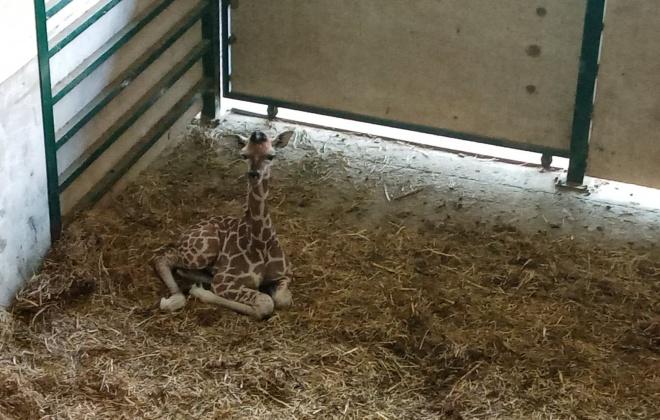 Cria de girafa nasceu no Badoca Badoca Safari Park