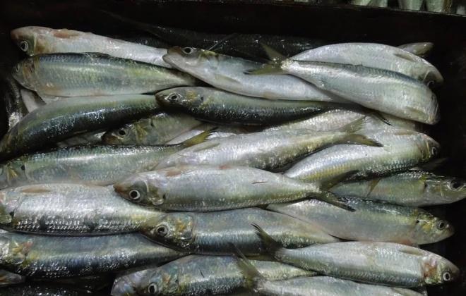 Apreendidos 836 quilos de sardinha em Sines por captura em excesso